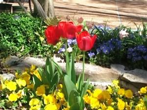 Red Tulip2-4-15- 6